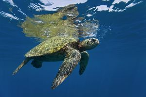 Adult green sea turtle (Chelonia mydas) in the protected marine sanctuary at Honolua