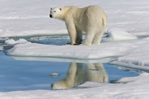 Adult polar bear (Ursus maritimus) reflected in melt water pool on multi-year ice