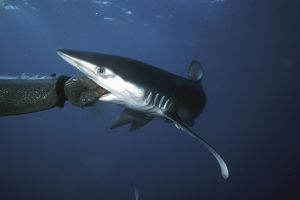 Blue Shark, Prionace glauca, off San Clemente Island, California