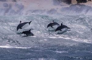 Bottlenose dolphin (Tursiops truncatus). Group surfing. South Africa.