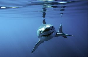 Great white shark swimming towards camera. (rr)