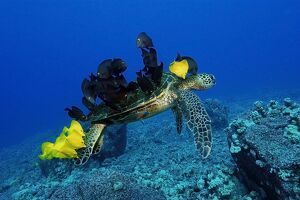 Green sea turtle, Chelonia mydas, gets cleaned by yellow tangs, Zebrasoma flavescens
