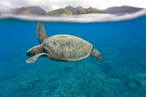 Green sea turtle (Chelonia mydas) off Olowalu Reef on the west side of the island of Maui