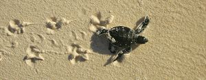 Green turtle (Chelonia mydas) hatchling, only a few hours old, returning to the sea