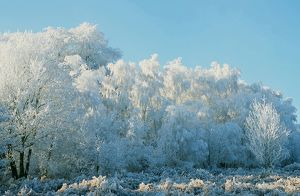 Hoare frost on trees on the Beacon near Loughborough Leicestershire UK