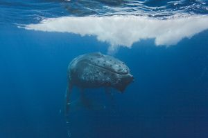 Humpback whale (Megaptera novaeangliae) underwater in the AuAu Channel between the islands of Maui