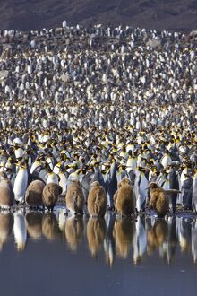 King Penguin (Aptenodytes patagonicus) breeding and nesting colonies on South Georgia Island