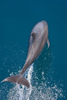Offshore type bottlenose dolphins (Tursiops truncatus) surfacing in the midriff region