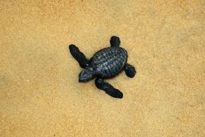 Olive ridley turtle hatchling, Lepidochelys olivacea, Costa do Sauipe, Bahia, Brazil