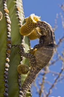 San Esteban spiny-tailed iguana (Ctenosaura conspicuosa), an endemic iguana found only on Isla San Esteban in the Gulf of California (Sea of Cortez), Mexico. This large iguanid has become specialized in climbing the tall columnar Cardon cactus to