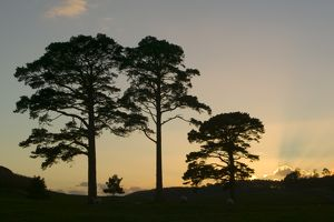 Scots Pine trees at sunset in Wasdale Lake District UK