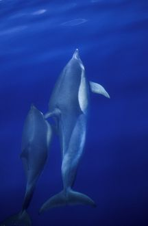Short-beaked Common Dolphins (Delphinus delphis) mother and calf, bow-riding and surfacing